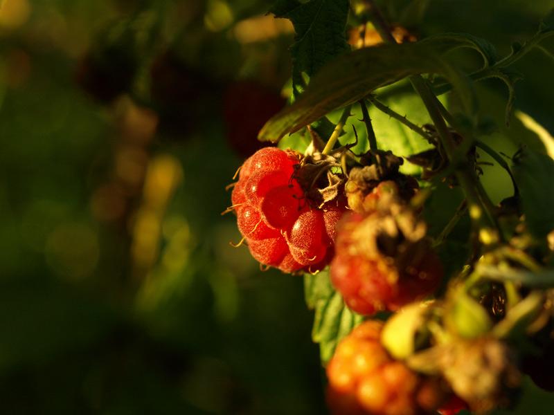 Поспевающие ягоды.  Нахабино, лето 2011