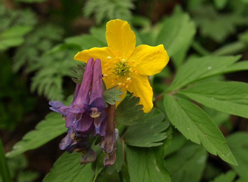 Отцветание лилового и расцветание желтого...  Нахабино, весна 2011