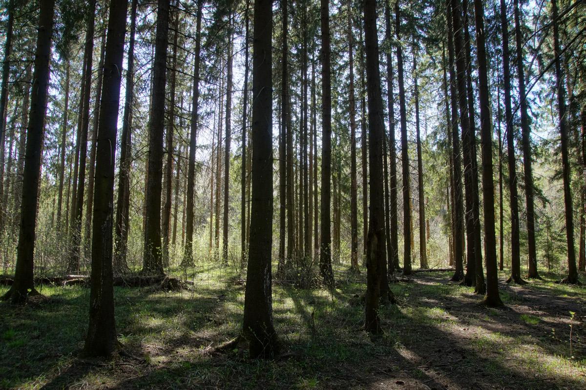 Рисунки весенней зелени на темном фоне елового леса. Нахабино, Подмосковье, весна 2019