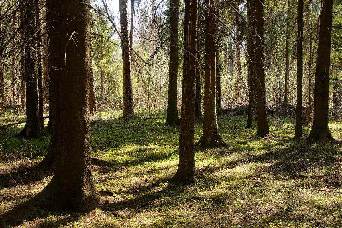 Свежие листья кислицы. Нахабино, Подмосковье, весна 2019