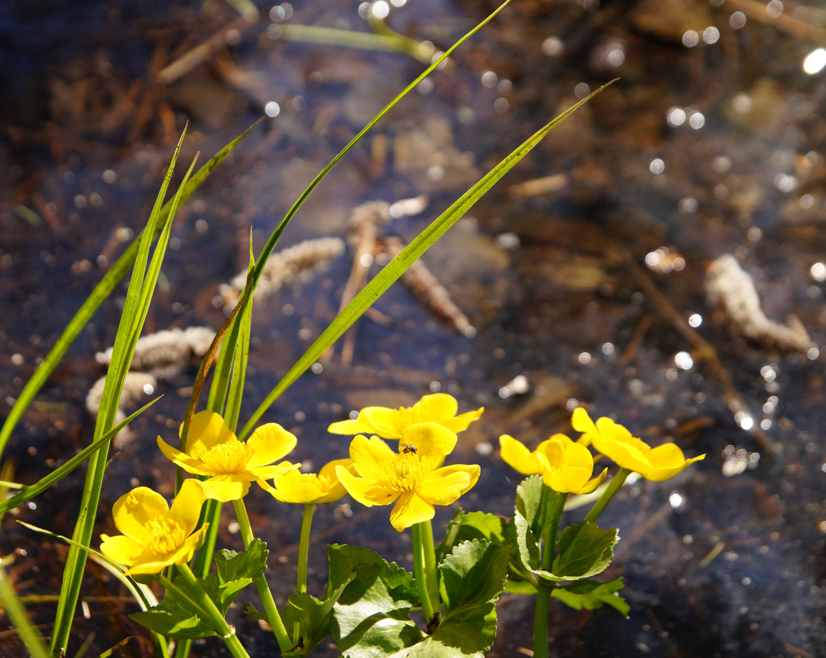 Яркие цветы калужницы болотной. Нахабино, Подмосковье, весна 2019