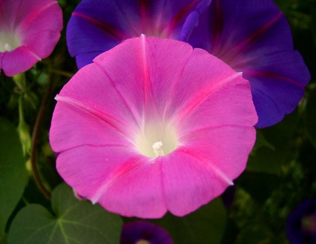 Фужер цветка... Семигорье, лето 2006