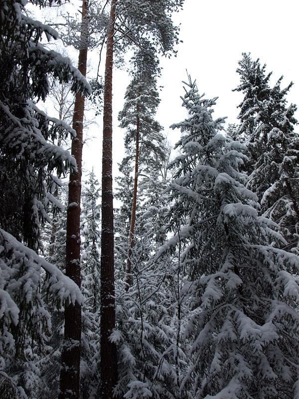 Стремление ввысь... Черноголовка, зима 2009