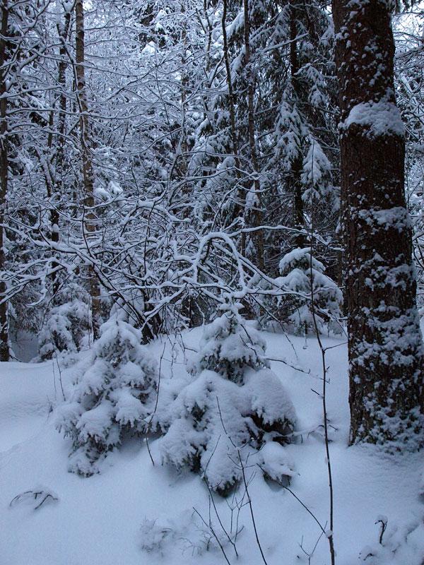 Две елочки... Черноголовка, зима 2009