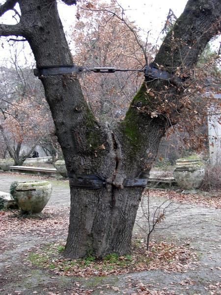 Расщепленное дерево Ливадия, Крым, зима 2008
