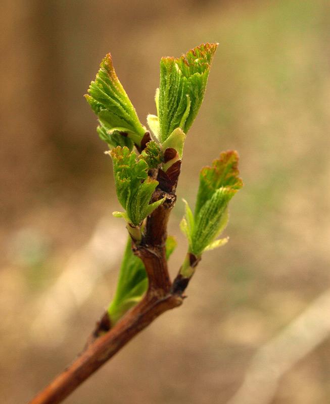 Свежие листья...  Нахабино, весна 2011
