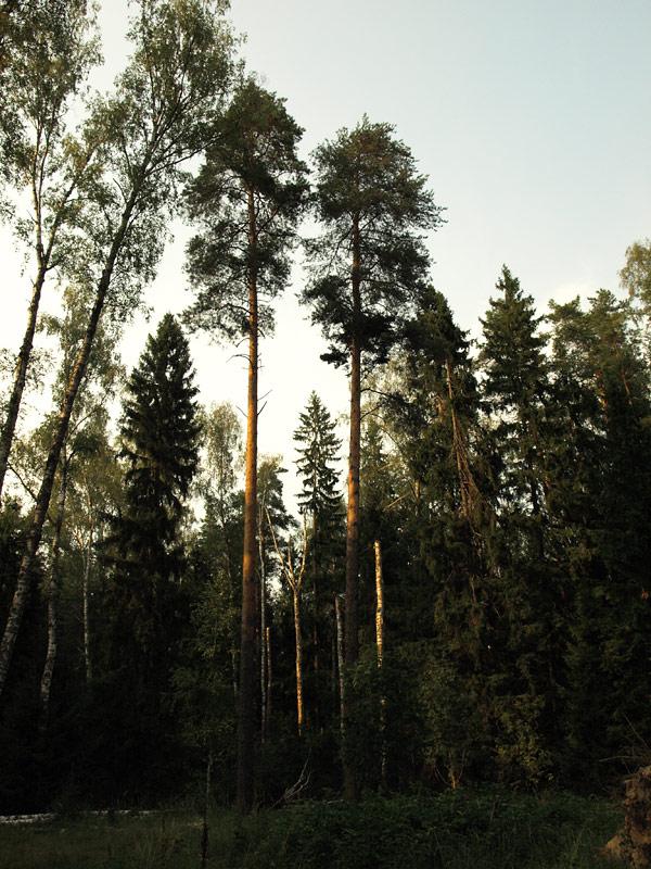 Две сосны.   Черноголовка, лето 2010