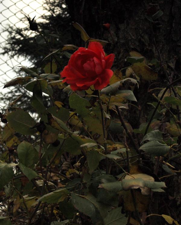 Цветущая роза зимой.  Гурзуф, Крым, зима 2011