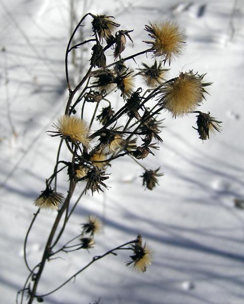 Сухие цветы Нахабино, зима 2007