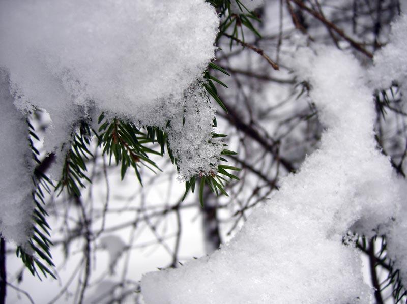 Еловые иголки Нахабино, зима 2007