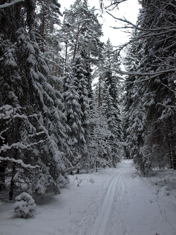 Елки в снежных шубах. Черноголовка, зима 2009