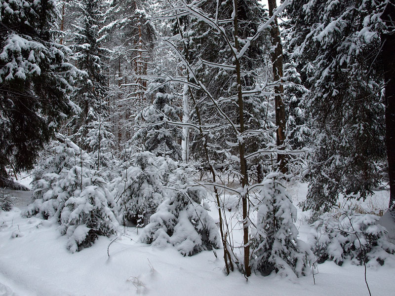 Группа елочек... Черноголовка, зима 2009