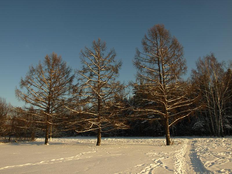 Лиственницы на параде морозным днем... Черноголовка, зима 2009