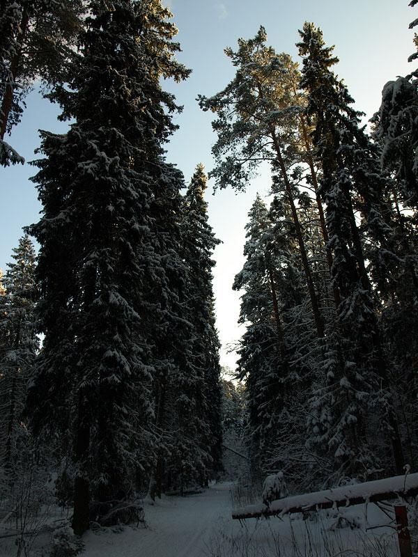 Высота елей... Черноголовка, зима 2009