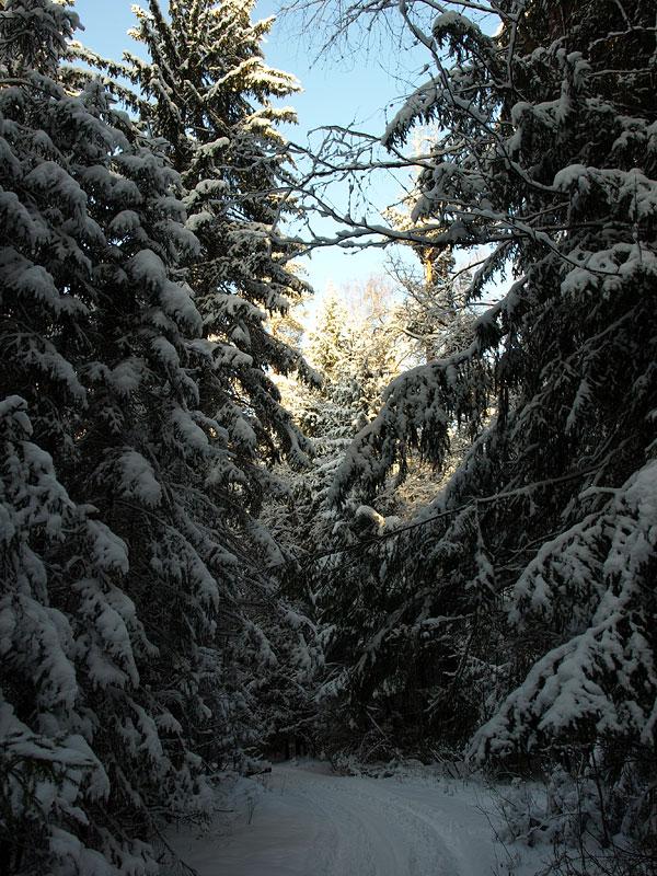Поворот в еловых зарослях... Черноголовка, зима 2009