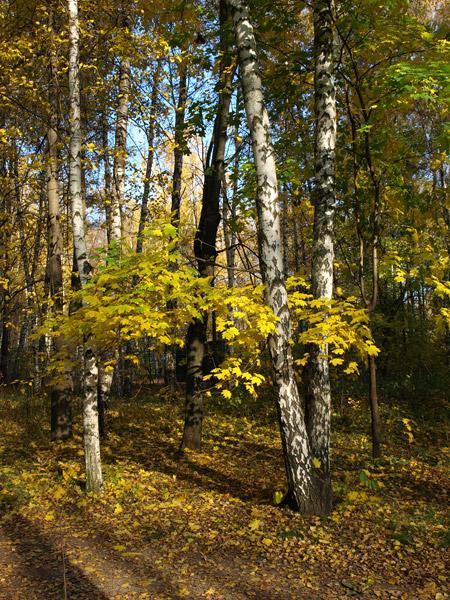 Желтые ветви... Нахабино, осень 2008
