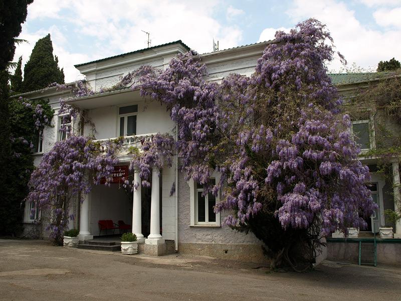 Пышная глициния  Алушта, Крым, весна 2009
